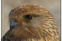 Kestrels / Kestrels were once a common sight, hovering over grasslands by the motorway. I still see them where I live, but they are on the decline in the UK. Here are some pictures of these beautiful birds.