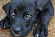 Labradors ^_^