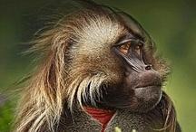 ✿ܓ Dearly beloved primates / #Primates #monkeys / by Postcard from Paris