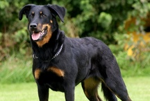 ღ Beauceron / #Beauceron / by Postcard from Paris