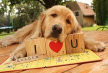 Golden Retrievers / by Catherine Hoskin