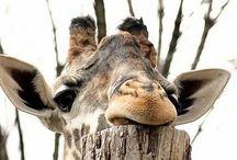 Grote Dieren, olifant, giraf, buffel / Grote wilde dieren