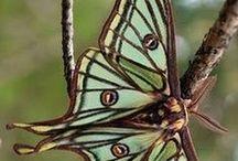 Butterflies ☼ Moths ☼ Dragonflies