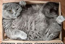 dikke katten