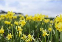 Daffodils / Narcissi for pot displays, mixed borders or for naturalising in lawns / by BBC Gardeners' World Magazine