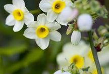 Favourite daffodils / Narcissi for pot displays, mixed borders or for naturalising in lawns