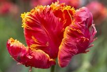 Favourite tulips / Our pick of top tulips, for spectacular spring colour.