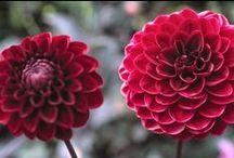 Favourite Dahlias / by BBC Gardeners' World Magazine
