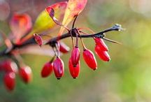 Beautiful berries / Colour in autumn and winter from jewel-like berries.