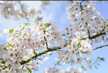 Beautiful spring blossom / Celebrate spring with glorious, frothy flowers / by BBC Gardeners' World Magazine
