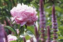 Peony perfection / Romantic blooms for borders or bouquets / by BBC Gardeners' World Magazine
