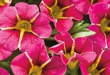 Planting with Proven Winners / At #RockysACE, we proudly sell the #1 plant brand, Proven Winners. Follow this board for essential planting tips for every season. We've got you covered, from gorgeous annuals and perennials, to gardening ideas galore.   Available at select New England Rocky's locations - www.rockys.com