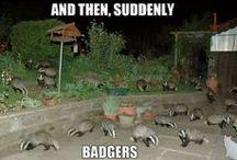 Badgers / Animals