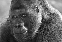 Primates / Gorillas, chimpanzee, orangutan,monkeys etc. / by Gregg Bryant