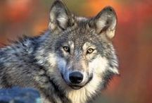 Wolves-Coyotes-Fox-Canine / Wolves - Coyote / by Gregg Bryant