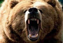 Bears / Bears / by Gregg Bryant