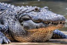 Alligators.Crocodiles,Caimans / Crocodilians / by Gregg Bryant