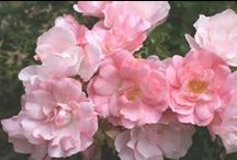 """Flower Carpet roses - mixed varieties / The original easy care """"eco rose"""", Flower Carpet was introduced in the US in 1995, requiring no fancy pruning or chemical sprays to keep it producing loads of flowers all summer long.  Flower Carpet roses have won over 25 international awards, many of which are for disease resistance. In 1990, Flower Carpet Pink received the highest score for disease resistance ever achieved in the ADR rose trials!"""