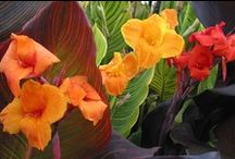 Tropicanna - mixed / Tropicanna® cannas add an exotic touch to any garden or container with their striped leaves and brilliant flowers.  Shown here are the original Tropicanna (also know as 'Phasion'), Tropicanna GOLD and Tropicanna BLACK.