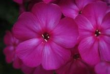 Volcano phlox / Volcano phlox are compact, long-flowering garden phlox that are easy to grow and disease resistant.   Check out our Cottage Garden board for more photos of Volcano phlox