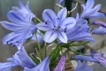 Storm Agapanthus (Lily of the Nile) / Long blooming Blue Storm and Snow Storm agapanthus add color and texture to warm-climate gardens