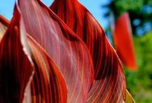 """Tropicanna Canna / Tropicanna® canna, the original Tropicanna in a series of 3 different plants, adds a distinctive and exotic touch to any garden.  They make perfect """"thrillers"""" in containers and are equally well suited to the garden"""