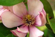 Fairy Magnolia / Fairy Magnolia® - the perfect small shrub-like magnolia - great for small spaces!