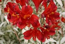 Alstroemeria Rock & Roll® / New Alstroemeria Rock & Roll® from Tesselaar Plants is already a hit in many western US gardens and in England and New Zealand as well!  Available in limited quantities in California and the pacific Northwest this year, with extended US availability in 2015.