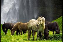 Hästar / Horses