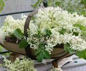 FL : Elder flowers.