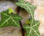 FL : Ivy