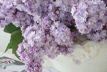 FL : Grandmothers favorite flowers : Mauve Lilacs