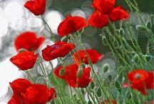 FL : In Flanders Fields : Poppies.