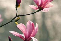 FL : Pink Magnolia.