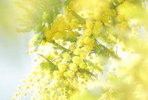 FL : Mimosa.