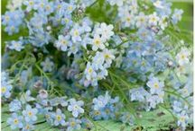 FL : Forget me not.