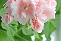 FL : pink Geraniums.