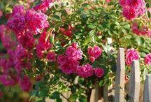 I love roses / by Jenny Tonkin