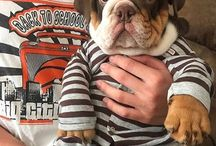 ♔ENGLİSH BULLDOG♔ / ♕You don't know love until you have experienced Bully love♕                      [the sweetiest of the world] --they really are the most quirky and funny personality dogs--