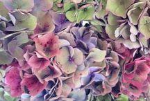 HYDRANGEA / LAVANDA / Ortensia&Lavender