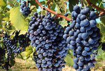Vino Gourmet / Selección de vinos ecológicos, vinos de garaje, vinos Premium con crianza, elaborados a partir de viñas viejas y respetando el medio ambiente. Vinos de autor de la máxima calidad, únicos, de variedades: Tempranillo, Garnacha, Viura, Graciano, Maturana, …