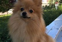 Jily the Pomeranian / My pomeranian