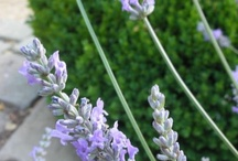 Lavender Harvest / by Trouvais