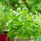 Bylinky - využití a pěstování