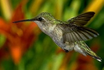 Hummingbirds  / by Debra Galarneau
