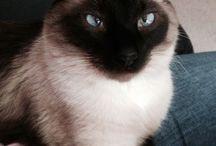 Siamese Cats / Siamese Cats / by Debra Galarneau