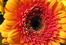 Blomster/Flowers / Mine  Blomster..