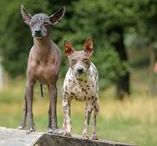 American Hairless Terrier (AHT) and Peruvian hairless dog (PIO) / American hairless terrier - Americký bezsrstý teriér - ABT - AHT (American Agonia Roztocká hvězda) and Peruvian hairless dog