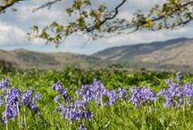 Bluebells in the Lake District / The bluebells cover the fells and forests in the Lake District during May and June. Take a walk through a field of purple flowers this spring.