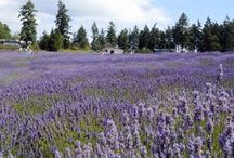 Visit the Lavender Farm / We invite you to visit us at the Farm! Talk a walk through the 25,000 organic lavender plants we grow, learn about how we distill lavender essential oil in the distillery, browse our wide range of handcrafted lavender products or just sit in gardens overlooking the purple fields with a glass of lavender lemonade and relax... http://www.pelindabalavender.com/the-farm-a/277.htm